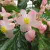 Begonia 'Folia Love'