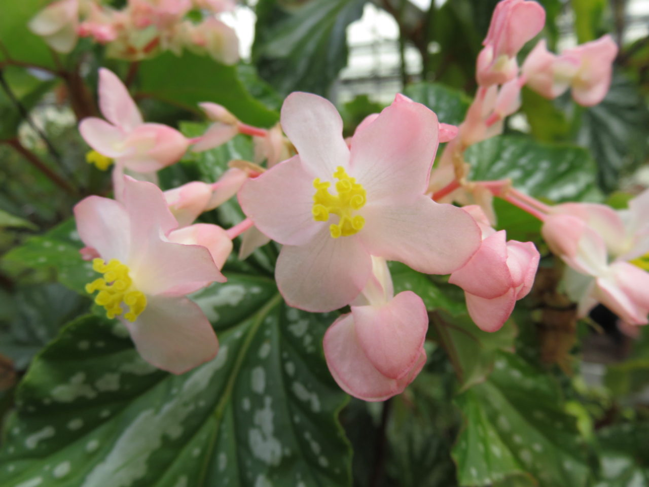 Begonia 'Folia Love'