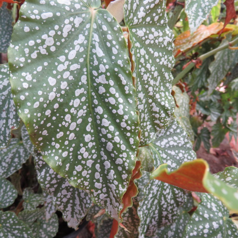 Begonia 'Country Patchwork'