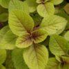 Plectranthus ciliatus 'Easy Gold'
