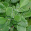 Plectranthus tomentosa, pianta del 'Vicks'