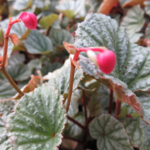Begonia 'Abel Carriere'
