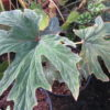 Begonia leathermaniae, sin. Begonia platanifolia var.acuminatissima