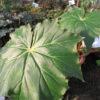 Begonia 'Ricinifolia'