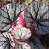 Begonia 'Santos'