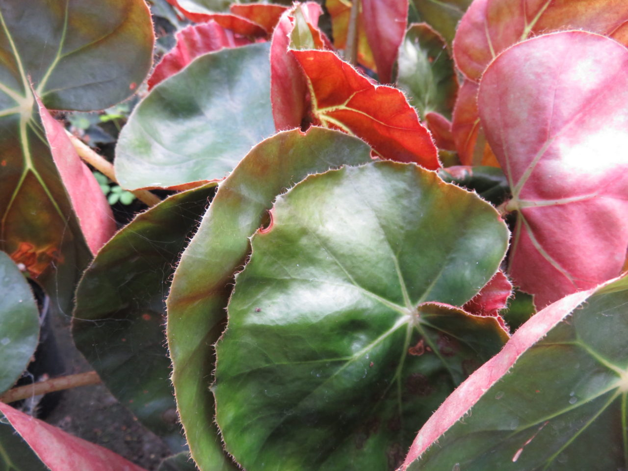 Begonia 'Erytrophylla'
