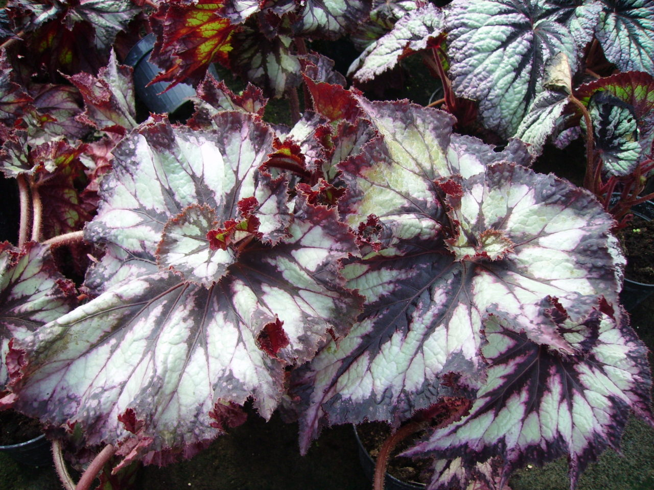 Begonia 'China Curl'