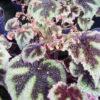 Begonia masoniana 'Tricolor'
