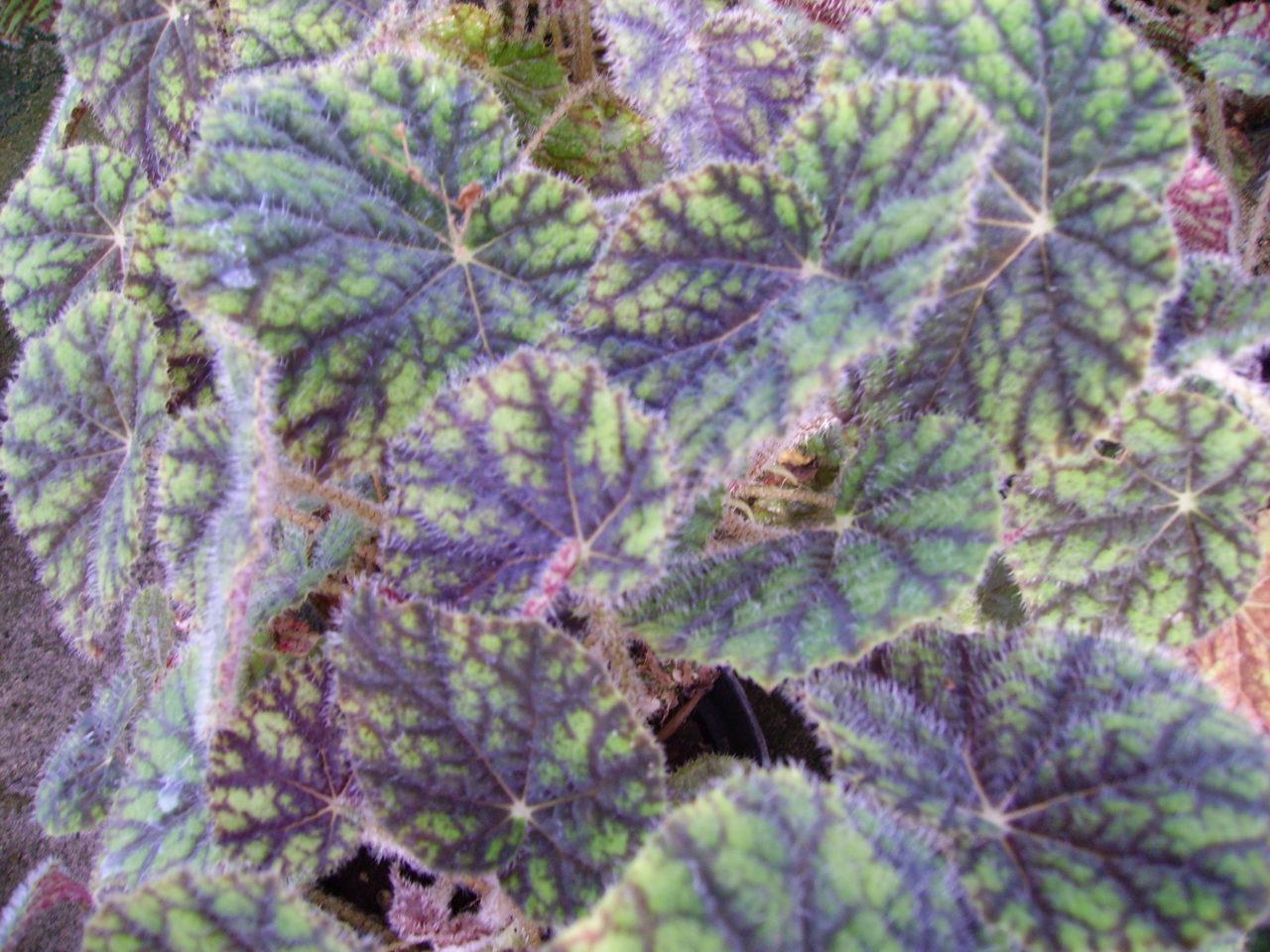 Begonia 'Sisquoc'