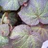 Begonia 'Orococo'