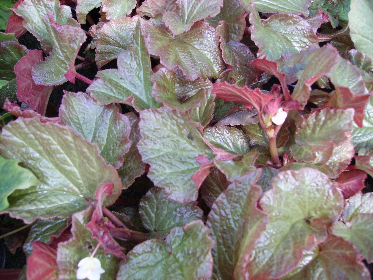Begonia 'Mirella Collavini'
