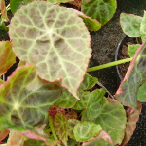 Begonia goegoensis