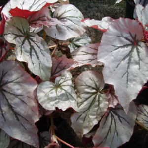 Begonia 'Looking Glass'