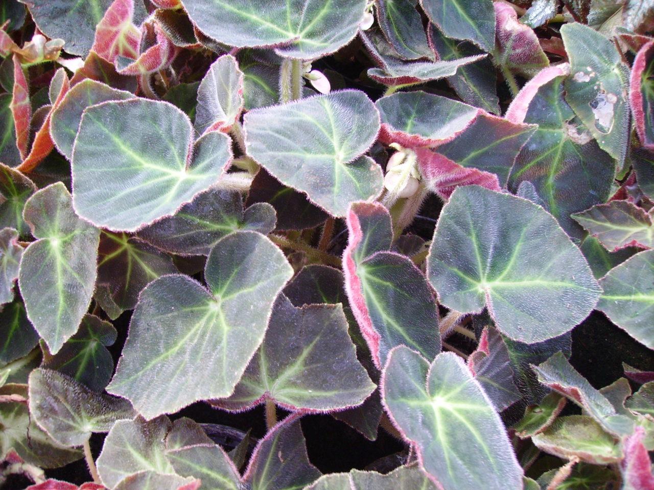 Begonia serlis sin. Begonia 'Caravan'