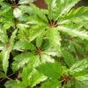 Begonia carolianefolia