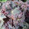 Begonia 'Munchin'