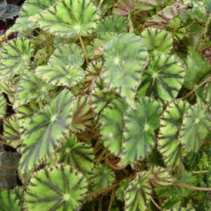 Begonia bowerae var. nigramarga