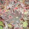 Begonia 'Cleopatra'
