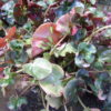 Begonia 'Cathedral Windows'