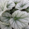 Begonia 'Silver Cloud' , sin. B. 'Kathleyana'